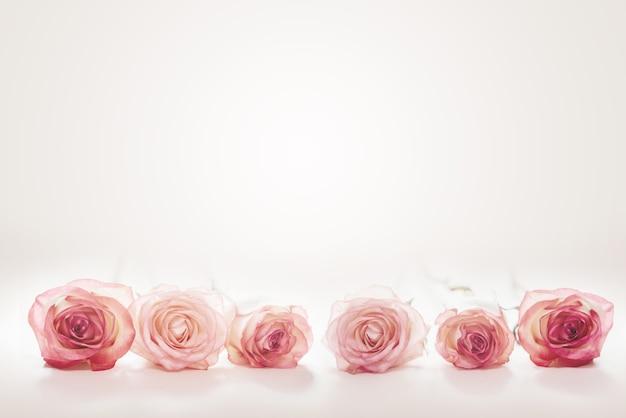 Różowe kwiaty róży brzoskwini na jasnoróżowym tle