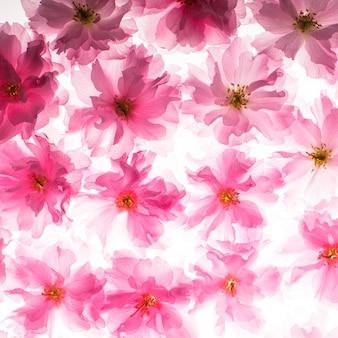 Różowe kwiaty sakury jak tło
