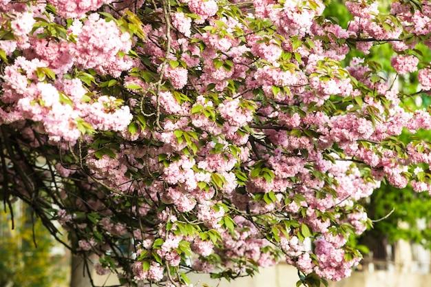 Różowe kwiaty sakury kwitnące z bliska na drzewie