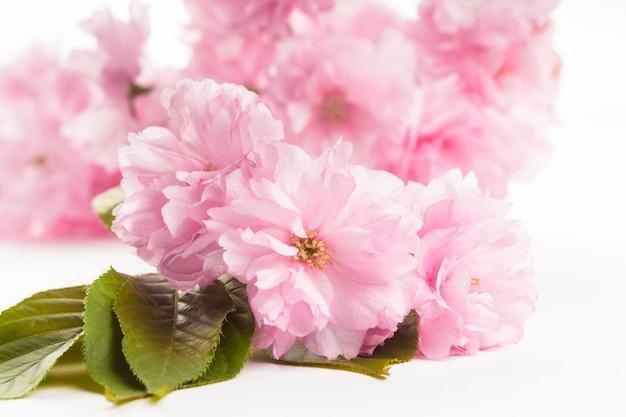 Różowe kwiaty sakury z bliska na białym