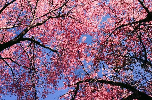 Różowe kwiaty sakury