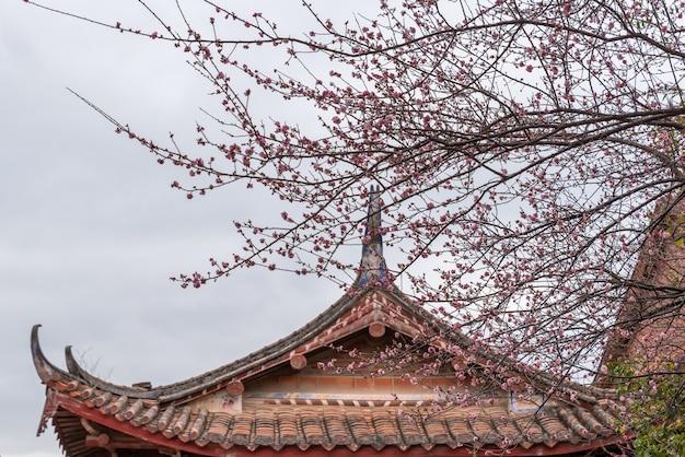 Różowe kwiaty śliwy w buddyjskich świątyniach są otwarte