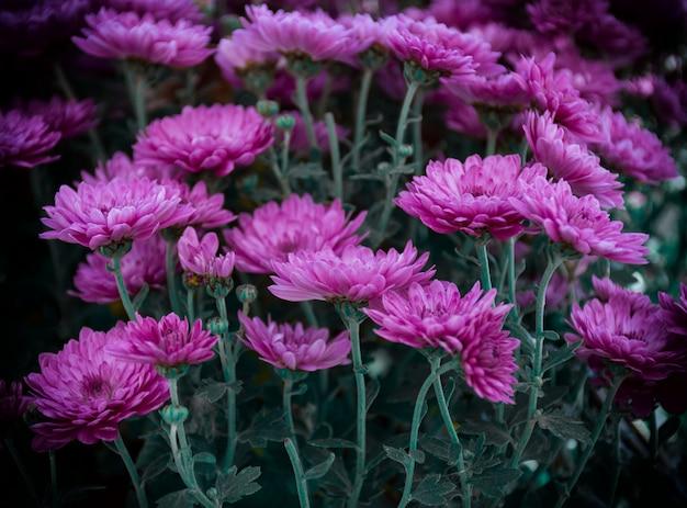 Różowe kwiaty w ciemności