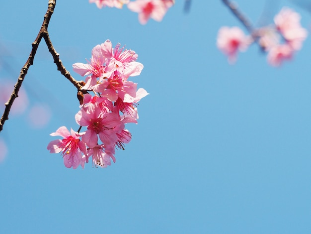 Różowe kwiaty wiśni kwitną w pełnym rozkwicie