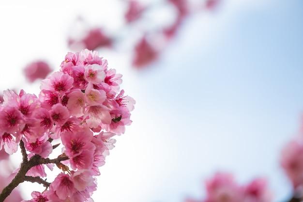 Różowe kwiaty wiśni kwitną wiosną.