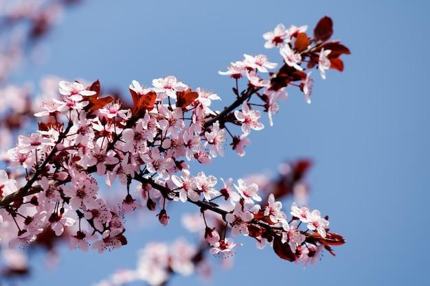 Różowe kwiaty wiśni kwitnące na drzewie z rozmytym tłem wiosną