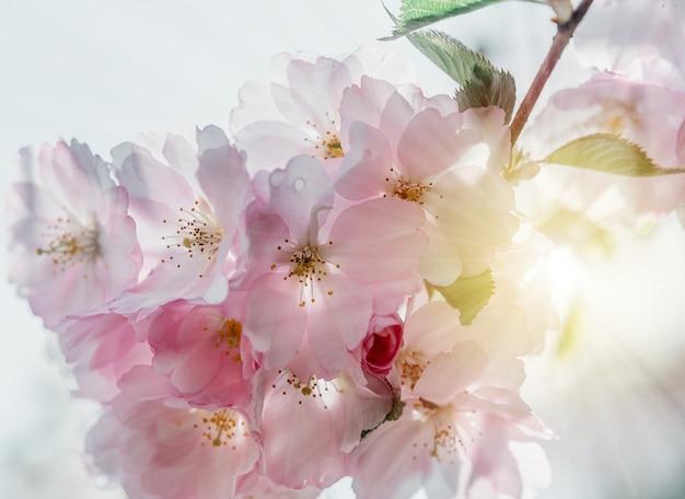 Różowe kwiaty wiśni w pełnym rozkwicie piękne wiosenne tło