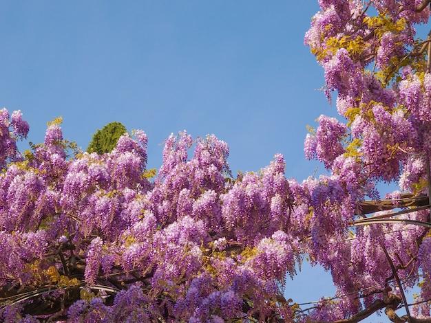 Różowe kwiaty wisteria