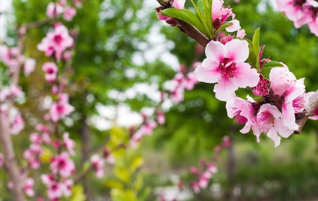 Różowe kwiaty z bliska, drzewa sakura w ogrodzie. koncepcja pięknych kolorów na pocztówki, okładki notatnika i kalendarze ścienne.