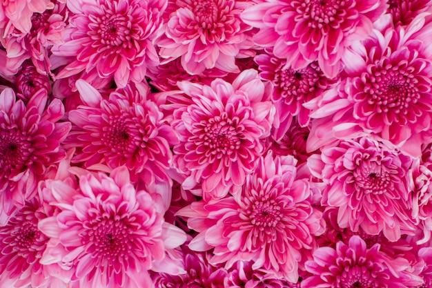 Różowe kwiaty z pięknymi płatkami, chryzantema (dendranthemum grandifflora) w ogrodzie