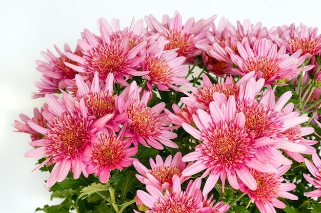 Różowe kwiaty (zbliżenie) rośliny chryzantemy w doniczce. tle przyrody.