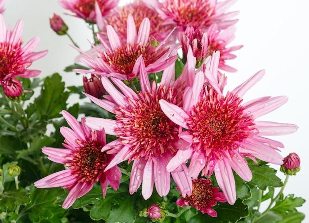 Różowe kwiaty (zbliżenie) rośliny chryzantemy w doniczce.