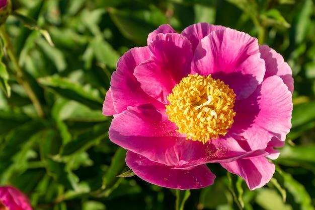 Różowe kwitnące kwiaty piwonii w ogrodzie.