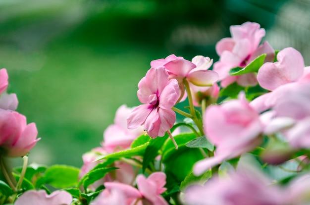 Różowe kwitnące kwiaty strzał z bliska. piękne pachnące lato z miejscem na tekst