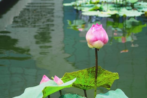 Różowe liście lotosu zielone odpowiednie do kultu.