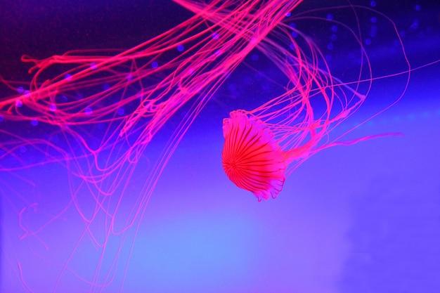 Różowe meduzy w wodzie