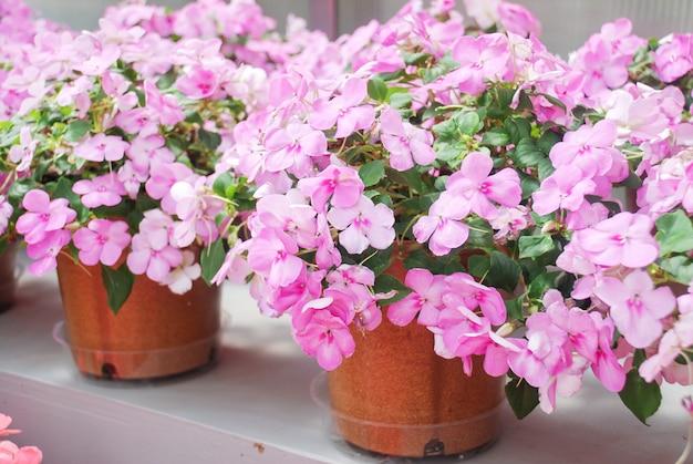 Różowe niecierpki, busy lizzie, nazwa naukowa impatiens walleriana kwiaty zwane także balsam