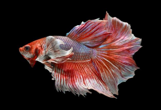 Różowe odcienie róży haftują księżycowy ogon ryby betta lub zdjęcie bojownika syjamskiego w lampie błyskowej.