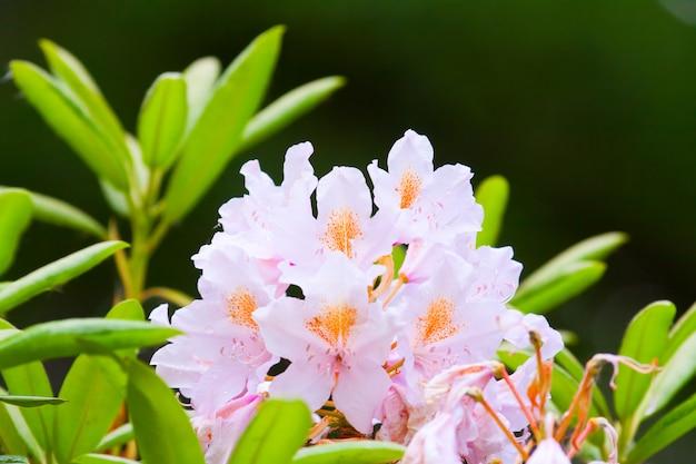 Różowe pąki rododendronów