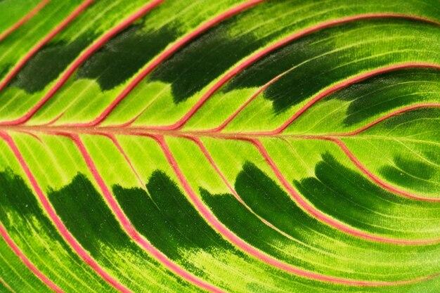 Różowe paski na liściu palmowym streszczenie zielonym tle tekstury