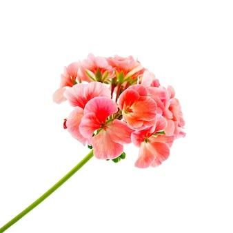 Różowe pelargonie na białym tle