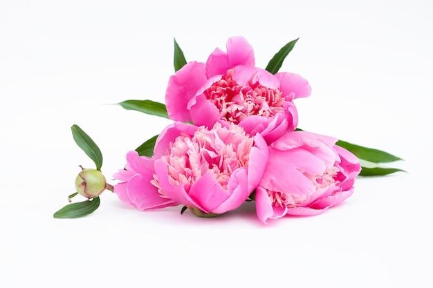 Różowe piwonie na jasnym tle