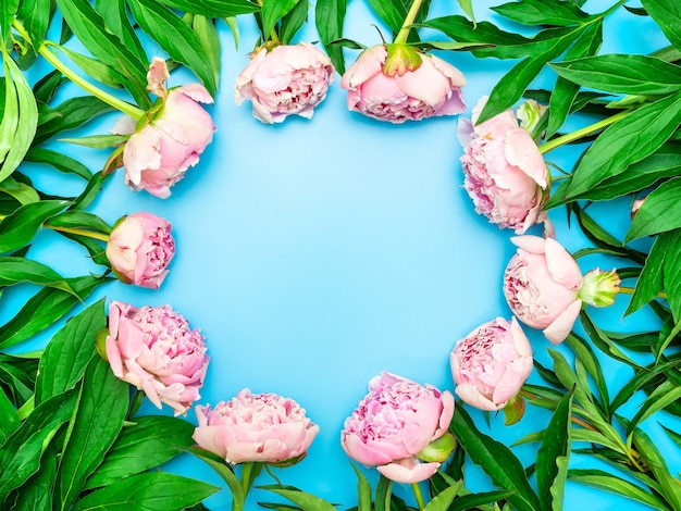 Różowe piwonie z zielonymi liśćmi są ułożone w kółko na niebieskim tle