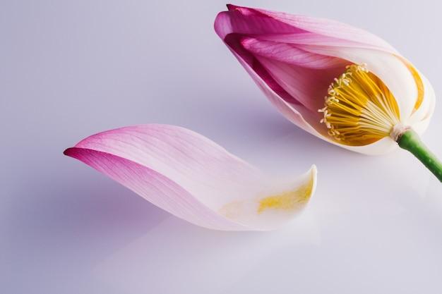 Różowe płatki lotosu na białym tle