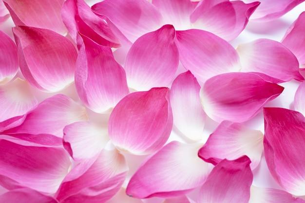 Różowe płatki lotosu na tle.