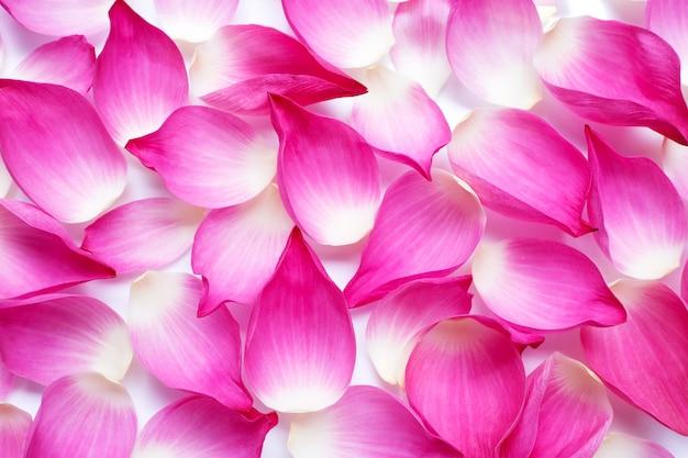Różowe płatki lotosu tło.