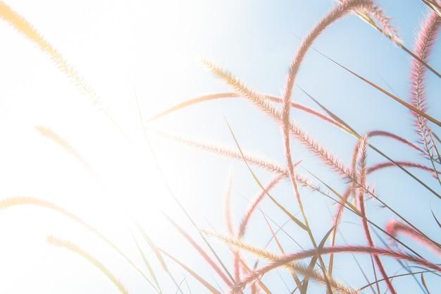 Różowe pole trawy lub różowe pole trawy kwiatowej
