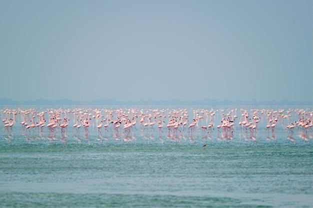 Różowe ptaki flamingi w słonym jeziorze sambhar w radżastanie w indiach