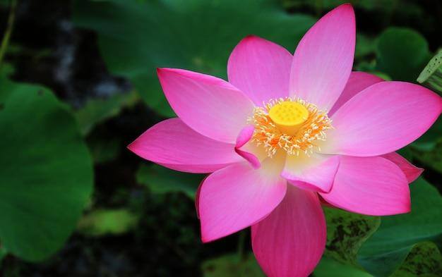 Różowe rośliny kwiat lotosu jesienna kompozycja