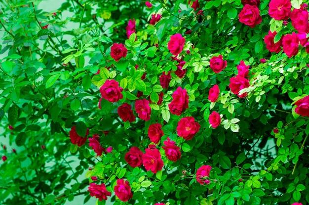 Różowe róże krzew na tle przyrody ogród lub park lato.