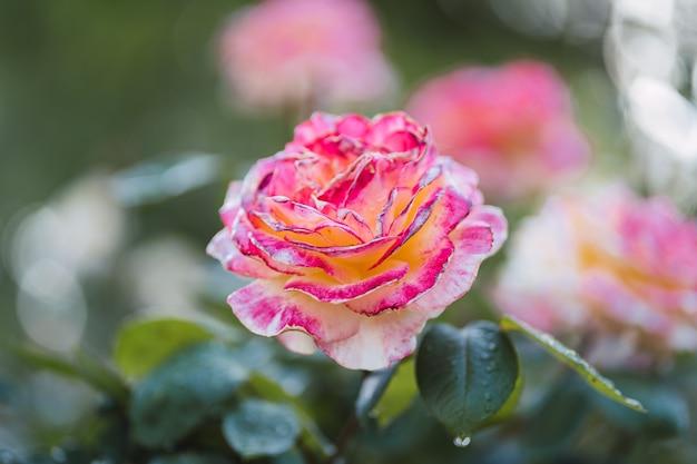Różowe róże na świeżym zielonym liściu.