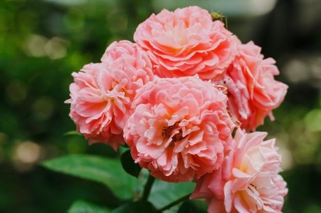 Różowe róże ogrodowe różowe róże herbaciane na zielonym tle kwiatowy tło copyspace