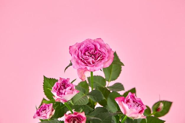 Różowe róże, roślina doniczkowa, kwiaty wewnętrzne, roślina wewnętrzna na różowym tle, zbliżenie, selektywna ostrość