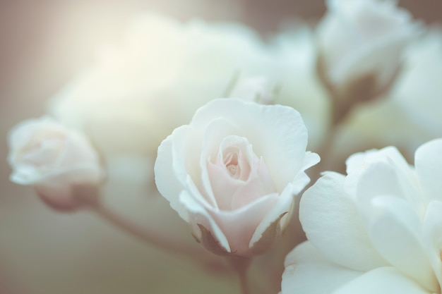 Różowe róże tło, płytkiej głębi ostrości. retro vintage filtr instagram