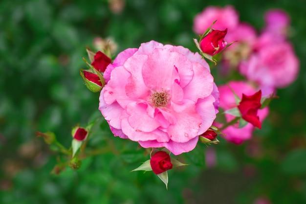 Różowe róże w ogrodzie