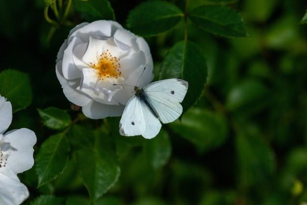 Różowe róże w wieczornym świetle w jesiennym ogrodzie