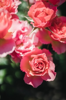 Różowe róże z bliska