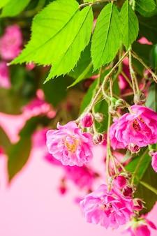 Różowe róże z zielonymi liśćmi jako tło dla projektu
