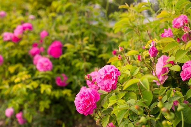 Różowe róże.