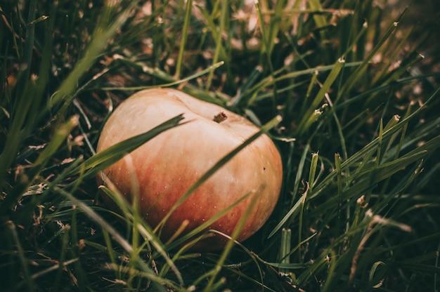 Różowe soczyste jabłko leży w mokrej trawie latem pod drzewem.