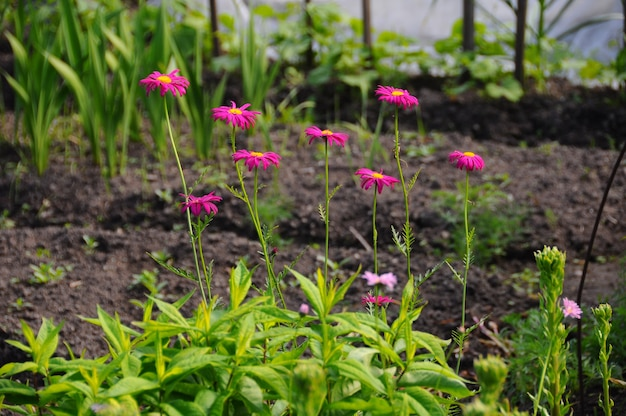 Różowe stokrotki w ogrodzie na zewnątrz w okresie letnim.