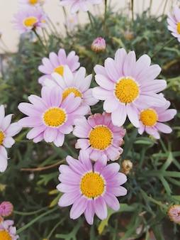 Różowe stokrotki w ogrodzie. naturalna tapeta, ściana do projektowania, miejsce na tekst, wiosenne kwiaty.
