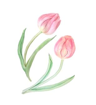 Różowe tulipany akwarela ilustracja botaniczna. kolekcja vintage