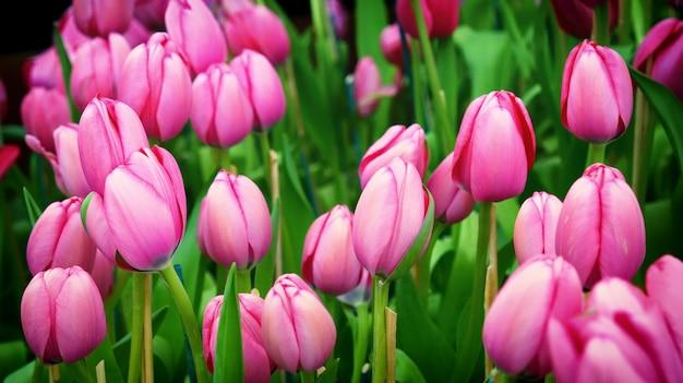 Różowe tulipany kwitną w wiosennym ogrodzie kwiatowym z zielenią.