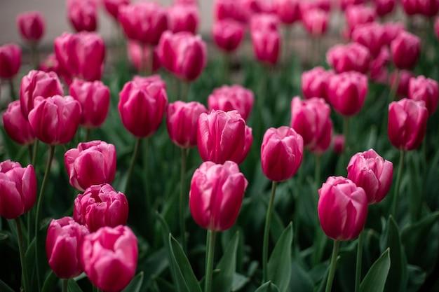 Różowe tulipany kwitnące w polu