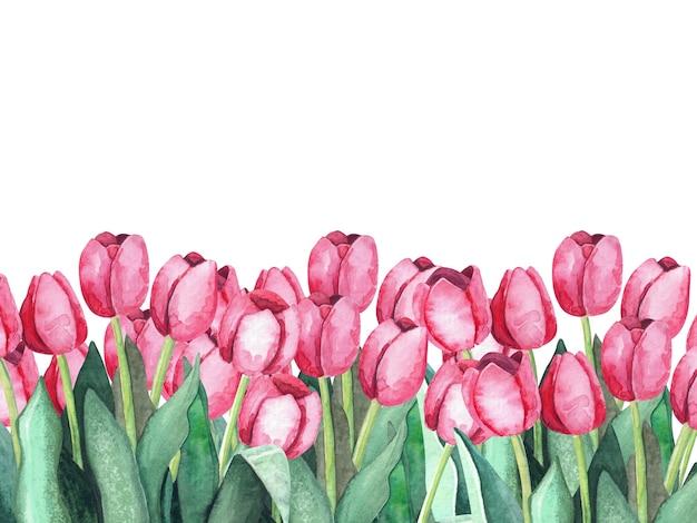 Różowe tulipany na białym tle. malarstwo akwarelowe. kwiatowy obramowanie poziome. ilustracja botaniczna.